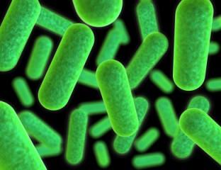 Infektionskrankheiten - gramnegative Bakterien